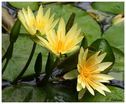 Yellow Water Lilies by CTP
