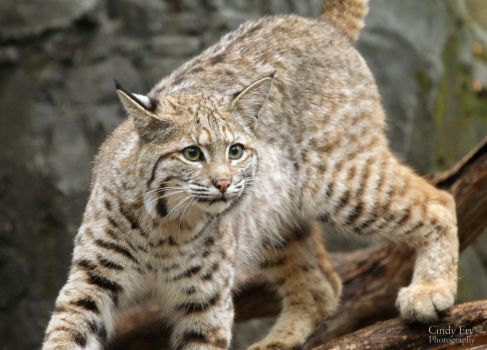 Bobcat by lost-nomad07
