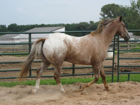Red Roan Appaloosa 11 by scenic-desires