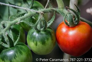 Red and green tomatoes by Caramanos2000