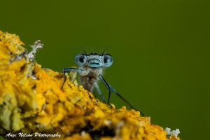 The posing damsefly by AngiWallace