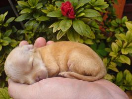 Little chihuahua puppy by The-Chihuahua