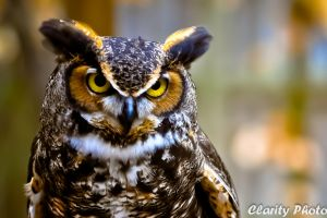 Great Horned Owl VI by xernex