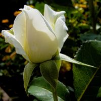 White Rose by Paul774