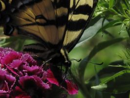 My front yard Butterfly 3 by Fallonkyra