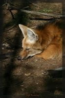 Maned Wolf Asleep by 1the1
