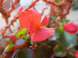 Pink flower close-up by Makivka