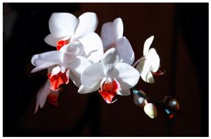 Orchids for Lara by Nataly1st
