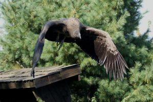 Vulture - Flying 4 by gaothaire
