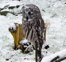 Snowy, Great Grey Owl by Yawn-Monster
