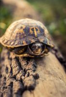 turtle by escaping