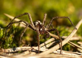 Male Nursery Web Spider on moss by TheFunnySpider