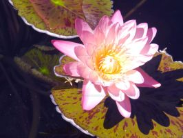 Water Lily by AtomicColor