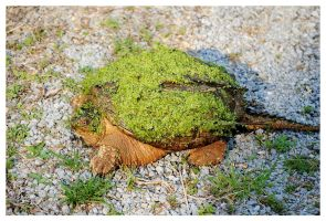 A Large Snapping Turtle by TheMan268