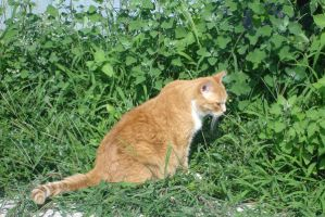 Orange White Cat Sits on Grass by MarinaMoon