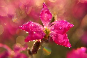 Pink bokeh. by Fiedka