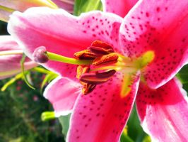 Pink Lily 2 by EveryDayIsNewToMe