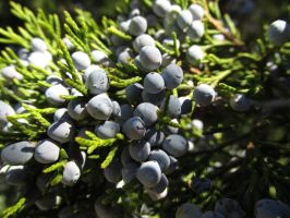 Evergreen Berries by Toderico