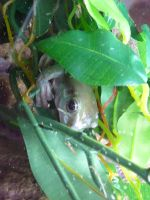 Gizmo the Tree Frog 08 by devonette