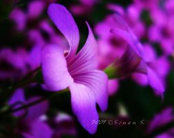 violet by my eyes by sinanTR