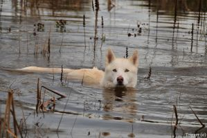 The Swimming Husky by Trigger-Photography