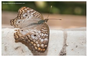 The White Peacock  Anartia jatrophae by Jimmasterpieces