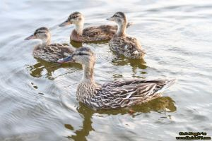 More Ducks by ChrisInVT