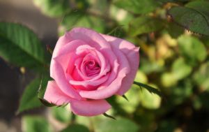 Rosa - morning beauty by miss-gardener