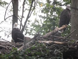 Bald eagles by dragons011