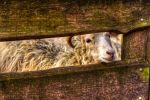Sheep HDR by KrisSimon