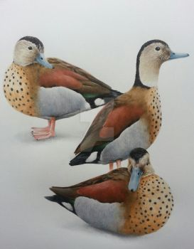 three ringed Teal  coloured pencil by alanwoollett