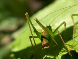 Macro Bush Cricket by biggyp