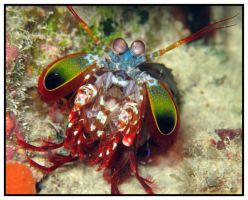 Mantis Shrimp 5 by furryboy80