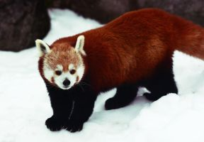 Red Panda I by Verenth