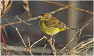 Palm Warbler by Ryser915