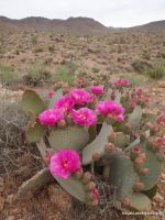 Beavertail Cactus Flowers by ClymberPaddler