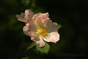 wild rose.. by Lk-Photography