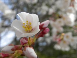 Cherry Blossoms of April - 3 by JennHolton