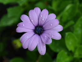 Rainy Daisy by jennalynnrichards
