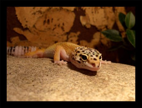 geckos2 by Elephtheruid