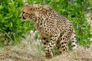 Walking Cheeta by Kippenwolf