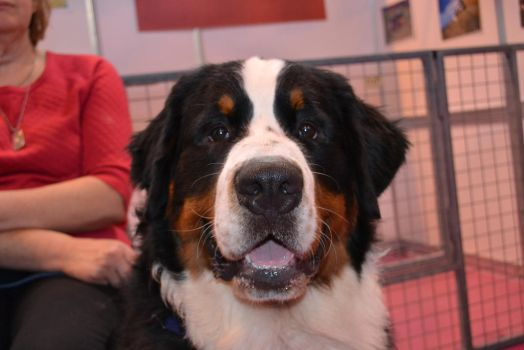 Bernese Mountain Dog by Iron-Star
