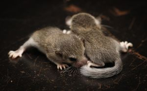 African Dormice by CamStatic