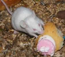 White House Mouse Eating Cake by Gracies-Stock