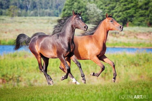 Two arabian colts by Olga5