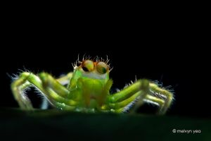 Jumping Spider (Epeus flavobilineatus) by melvynyeo