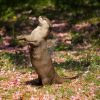 otter standing by photographybypixie