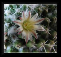 Cactus Blossom by dove-51