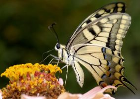 Papilio machaon britannicus by BogdanBoev