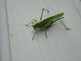 Green Grasshopper by Stars--At--Night